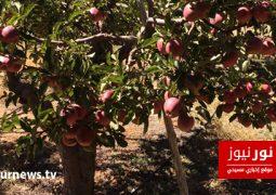 خاص موقع نور نيوز- أزمة التفاح في بشرّي .. بين الواقع المرير والحلول المقترحة