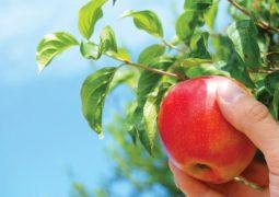 بلدية بشري تدعم اليد العاملة البشراوية في موسم التفاح