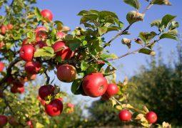 مسح للأراضي التي لم تستفد من الدفعة الاولى من تعويضات التفاح